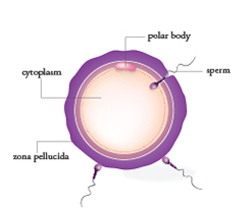 IVF fertilization New Hope Fertilty Center